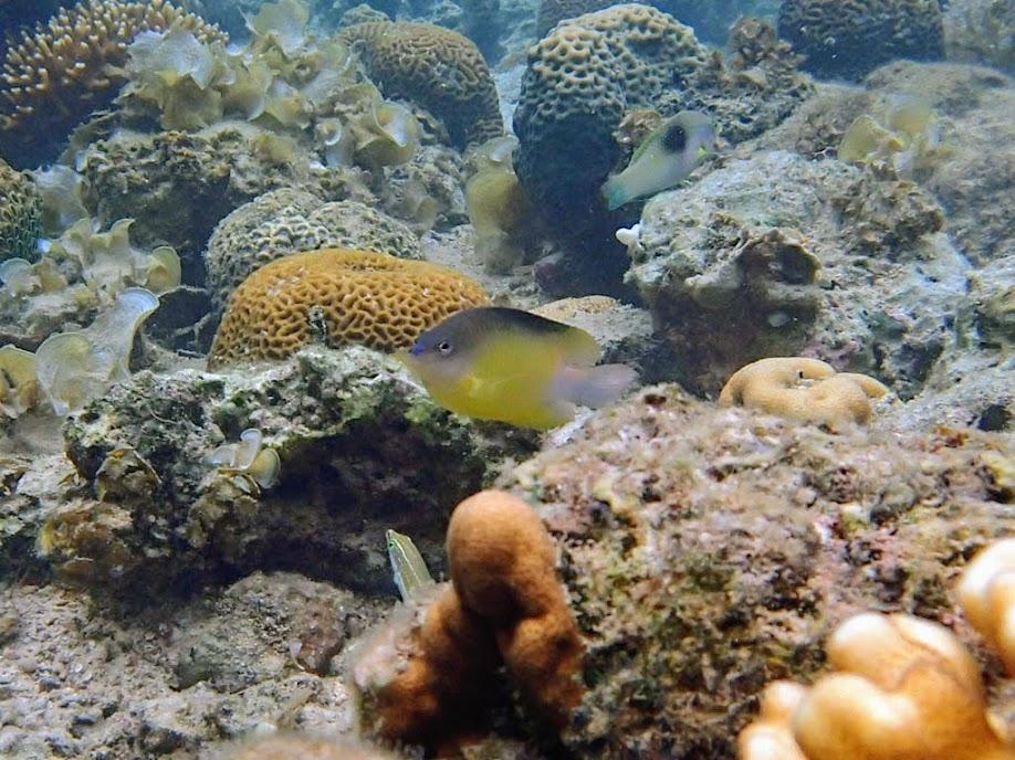 Unidentified Damselfish, Lusong Island, Coral Garden Reef, Palawan, Philippines.