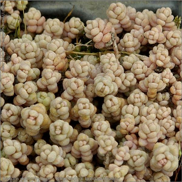 Sedum dasyphyllum - Rozchodnik brodawkowaty