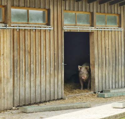 Schwein auf Gut Streiflach