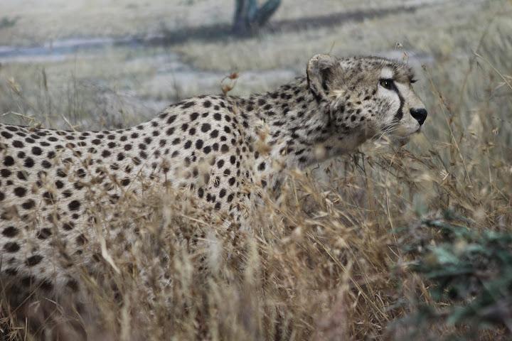 Ebenso dieser Gepard