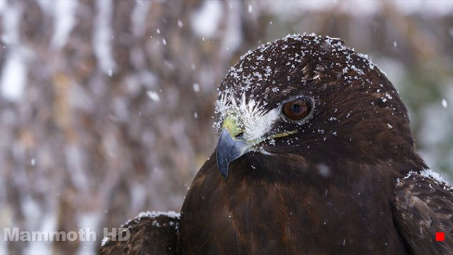 Ares, Red-Tail by Mammoth HD