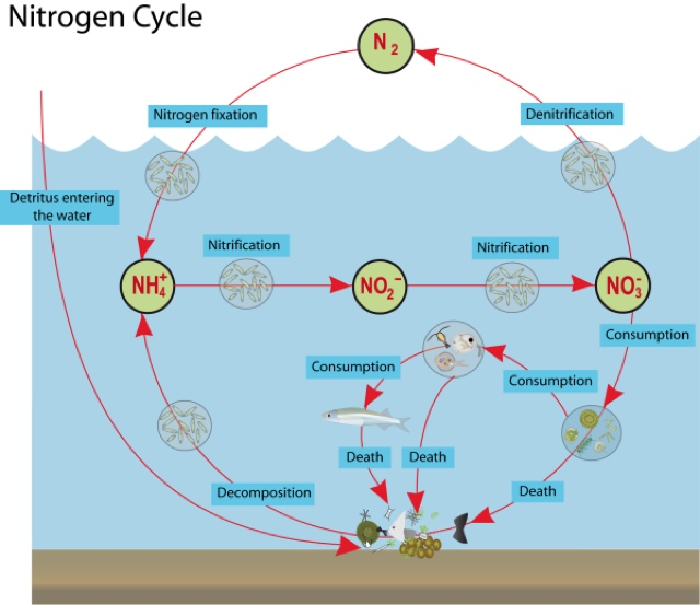 life of the nitrogen cycle diagram freshwater ecology: nitrogen cycle the nitrogen cycle diagram freshwater wetland