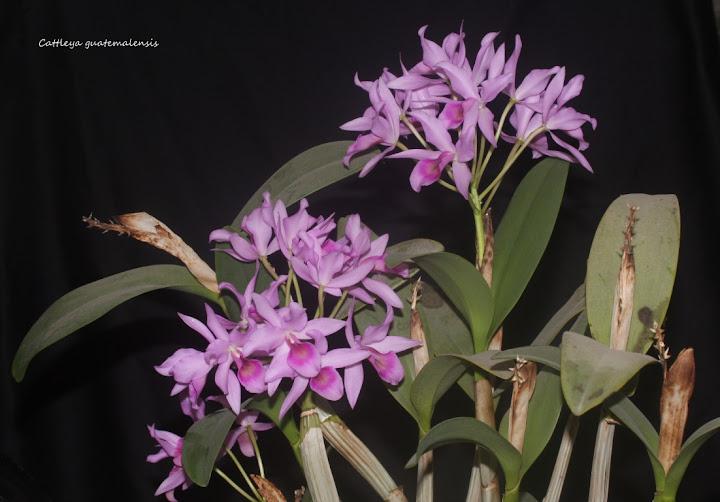 Cattleya guatemalensis IMG_1110b%2520%2528Medium%2529