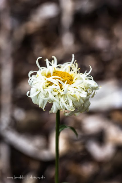 Leucanthemum Goldrausch ... c'est l'intruse Leucanthemum-goldrausch-130802-26rm