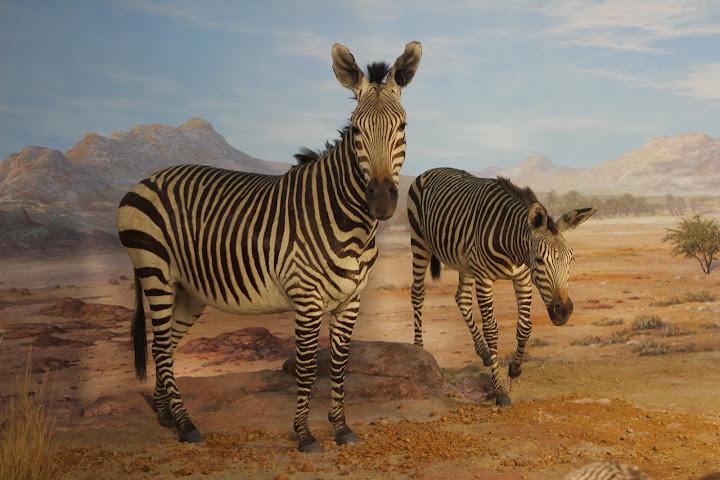 Diese Zebras gehören dazu