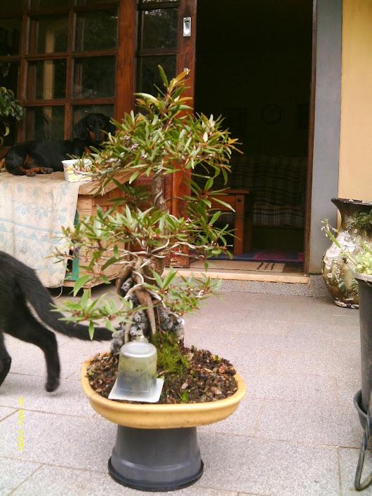 Ficus Nerifolia, Uma raiz de 3 anos... - Página 2 IMAG0204