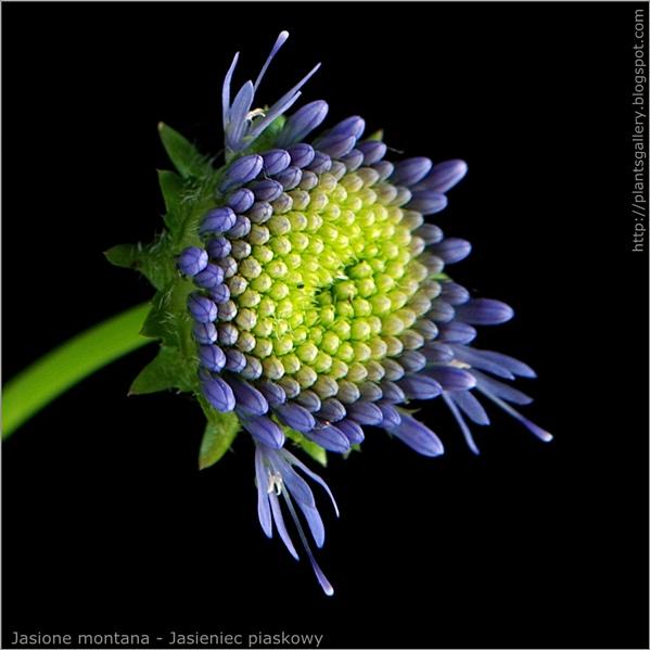 JJasione montana bud flower - Jasieniec piaskowy pąk kwiatowy
