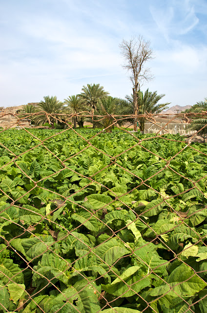 Cultivation in Hatta