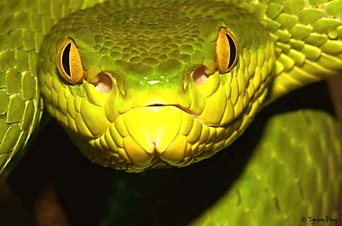 Sinh con là sự kiện cuối cùng trong mỗi cuộc đời của rắn lục đuôi đỏ cái, bởi sau đó chúng sẽ chết.