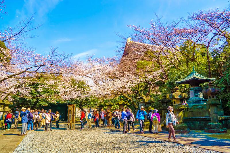増上寺 桜 写真 12