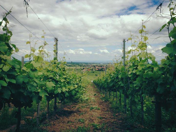 photo : rangée de gauche non-palissée, rangée de droite palissée (sur jeune vigne)