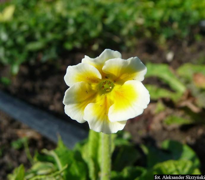 Pierwiosnek wyniosły Primula eliator