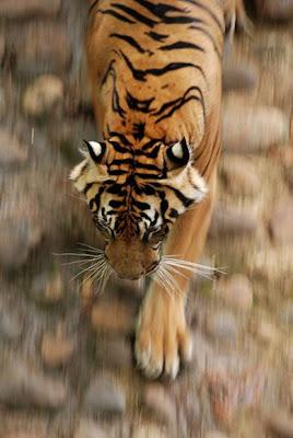 Harimau, macan sumatra, macan tutul, macan loreng