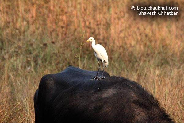 An Egret on a Grazing Indian Buffalo