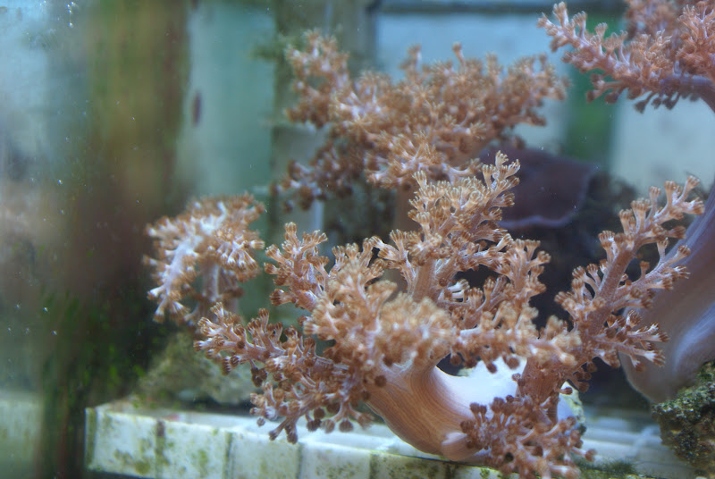 Capnella imbricata (Kenya Tree Coral) DSC05166