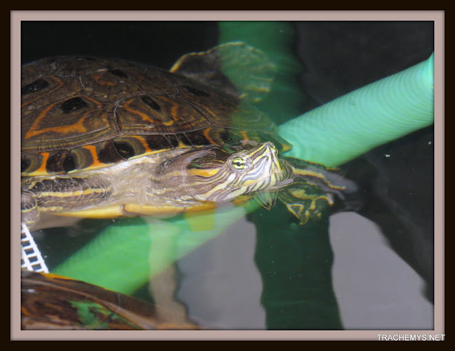mes tortues (BK) - Page 10 IMG_2124