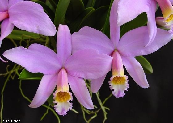 Растения из Тюмени. Краткий обзор - Страница 4 Laelia%252520%252528cattleya%252529%252520jongheana1
