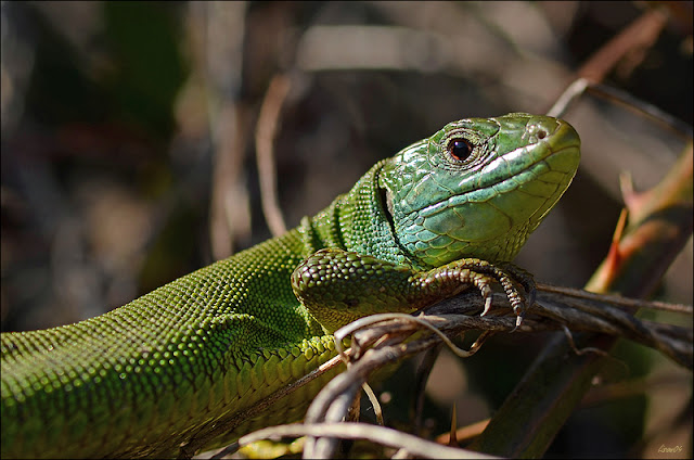 Verte rencontre dans Nature Lacerta%2520bilineata%2520LMB_9617-BorderMaker