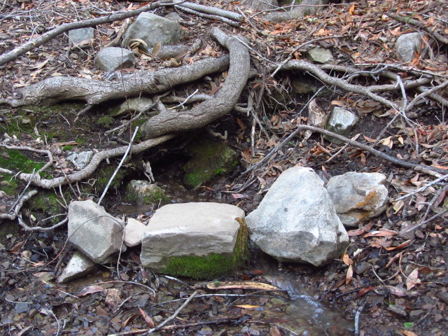 spring at Big Cone Spruce