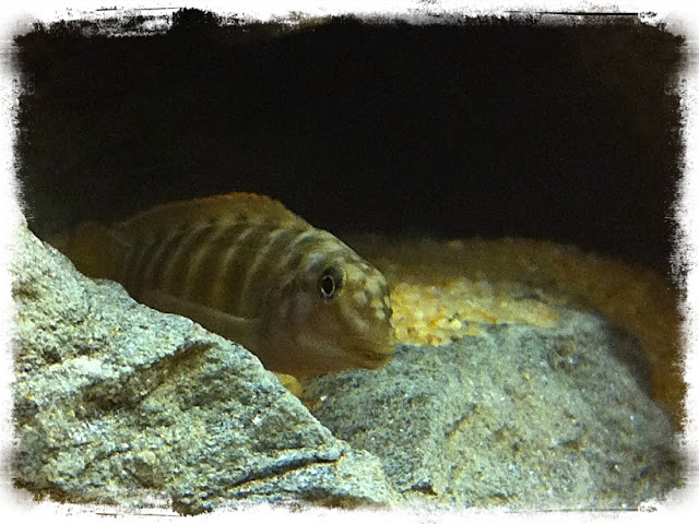 Pics from my tanks Goby