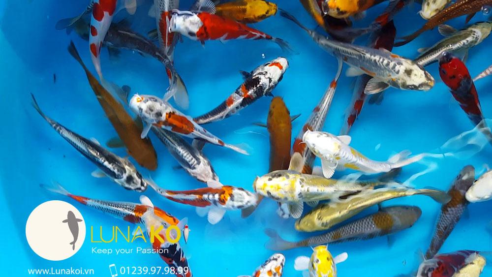 Cá Koi Nhật 2016