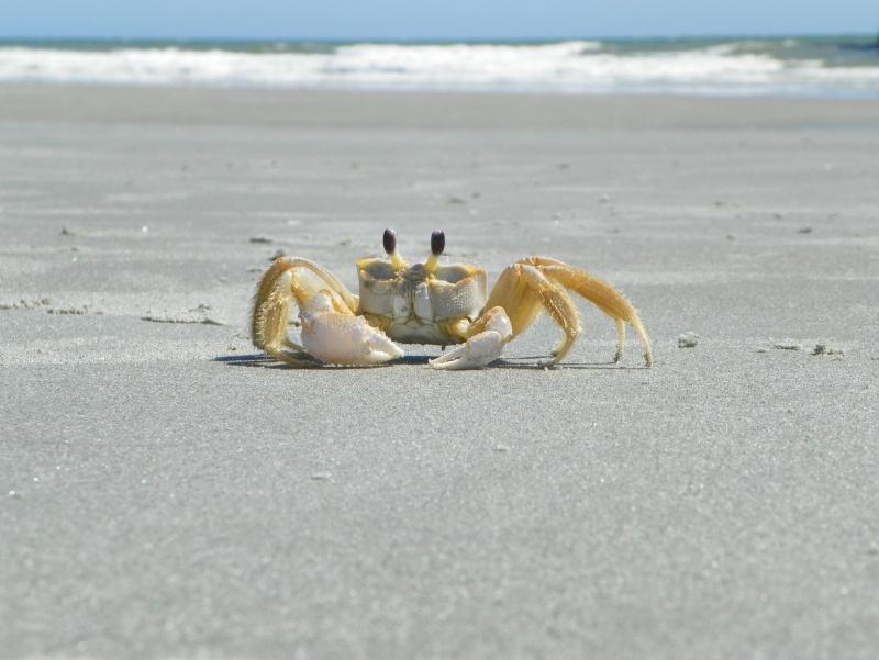 Pinchey, my sand crab 102_0211