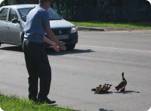 Сказ о том, как утки дорогу переходили