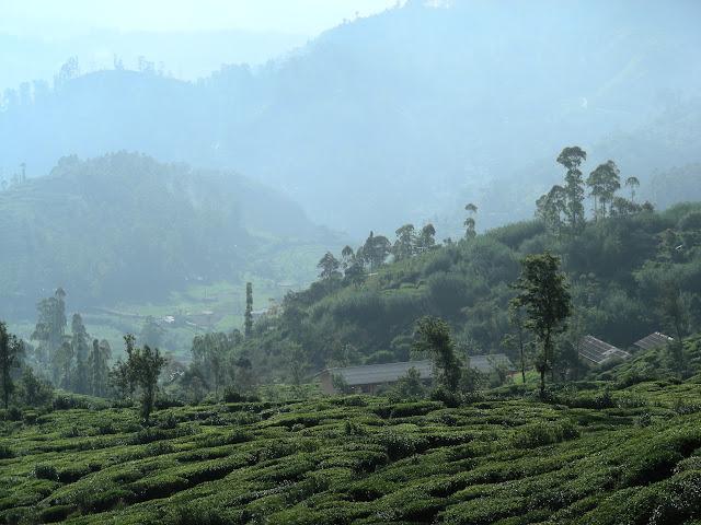 Шри Ланка, провинция Ува, утро, чай