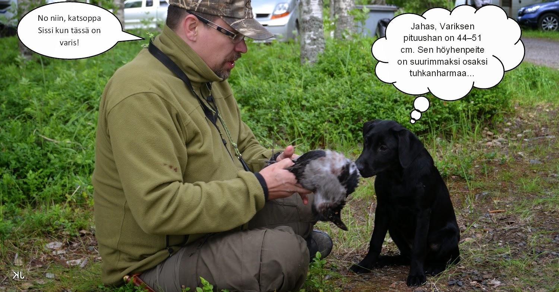 labradorinnoutaja tutustuu riistaan