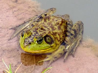 Frog near the Delicate Arch trailhead
