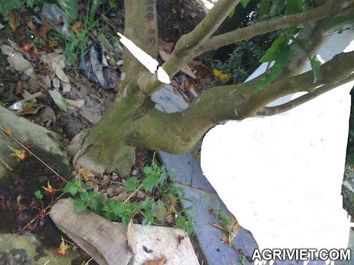 Agriviet.Com-101APPLE_IMG_1462.JPG