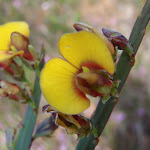 Plank plant (Bossiaea scolopendria) (179298)