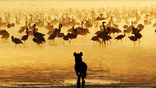 Watchful Lion Studying Flamingos, South Africa.jpg