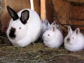 ارنب البابيون