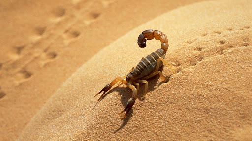 Scorpion, Sahara Desert, Algeria.jpg