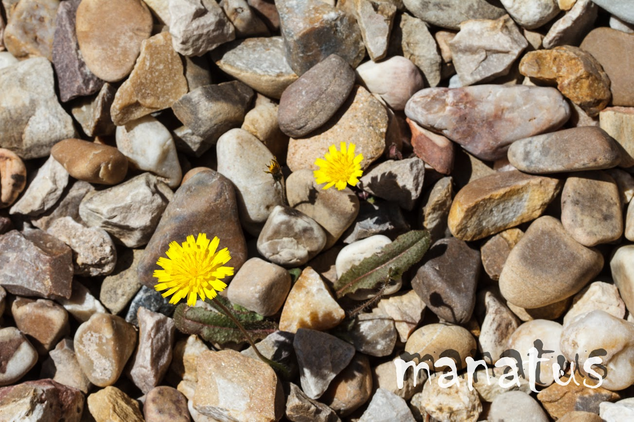 manatus foto blog flores entre piedras