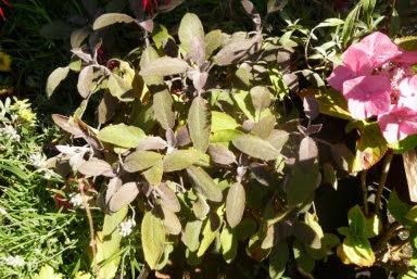 Szałwia lekarska Purpurascens Salvia officinalis Purpurascens