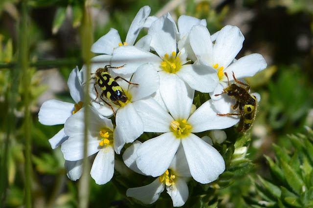 white flowers on a bush with black and yellow insects