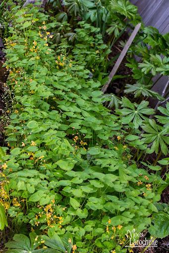 Epimedium pubigerum Orangekonegin Epimedium-orangekonegin-140522-322rm