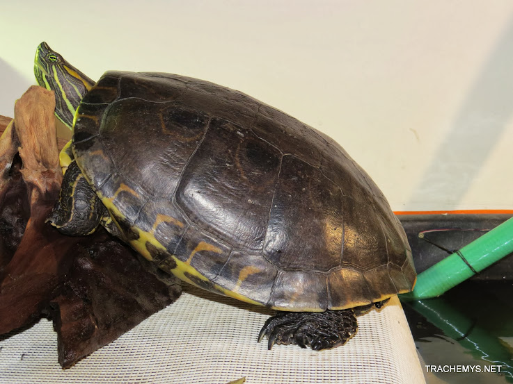 mes tortues (BK) - Page 12 IMG_3814