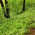 Rezerwat Góra Zamkowa - czosnek niedźwiedzi