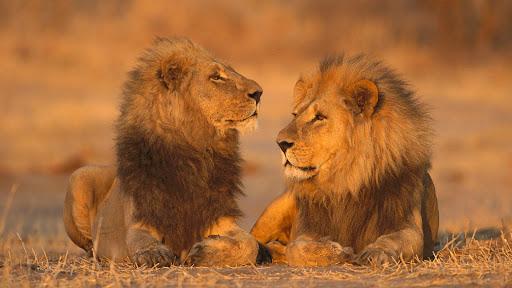 African Lions, Moremi Game Reserve, Botswana.jpg