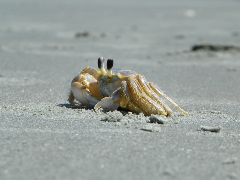 Pinchey, my sand crab 102_0212