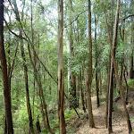 Walking along the narrow Bumble Hill Dray track south of Yarramalong (367457)
