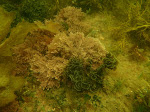 Coralline algae (?Amphiroa sp) with Fanweed (Zonaria turneriana), common kelp etc