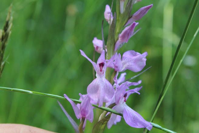 Orquideas do Nordeste  IMG_5058