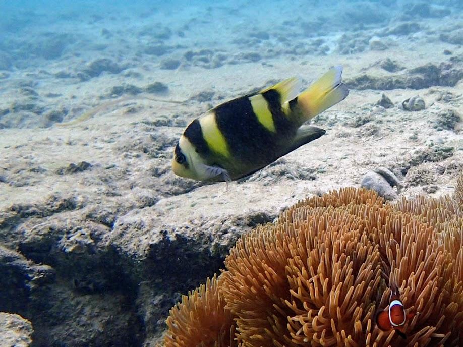 Dischistodus fasciatus (Banded Damselfish), Miniloc Island Resort Reef, Palawan, Philippines.