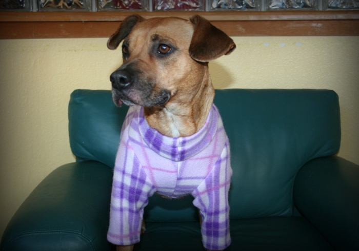 light brown mixed breed dog, about 30 pounds, sitting on green leather chair, wearing purple plaid pjs