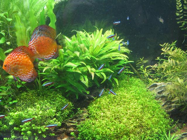 Amazonien 800 litres Aquarium-aquascaping-final4%252520%25255B1024x768%25255D