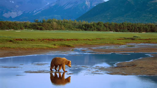 Grizzly Bear Crossing River, Katmai National Park, Alaska.jpg